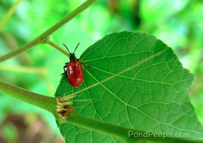 More Air Potato Leaf Beetles, Lilioceris cheni