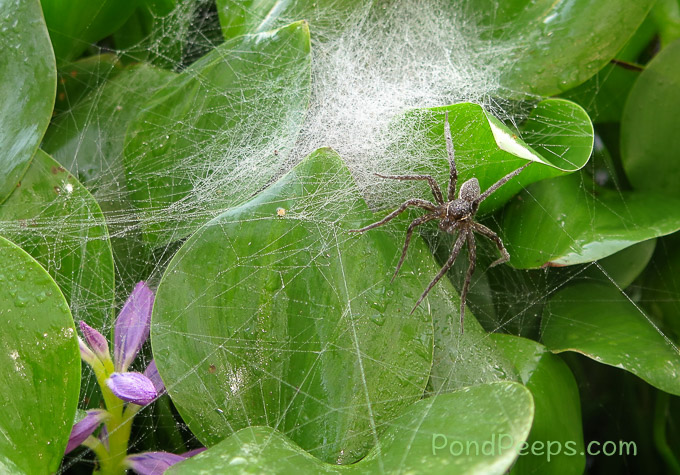 More Hatching Spiders - a really big spider in the water hyacinth