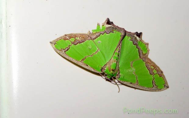 Moth - Hachijojima