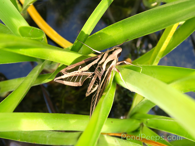 Moth in our pond - Pond Peeps Spring 2017