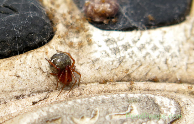 Mother spider with her egg sac in background