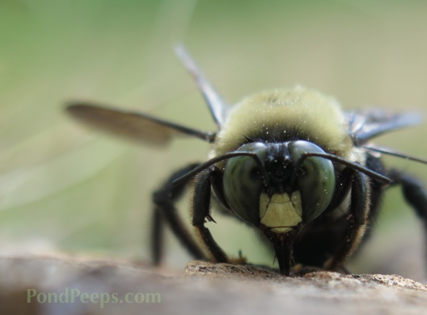 Photo Friday: My Obsession - Carpenter Bee