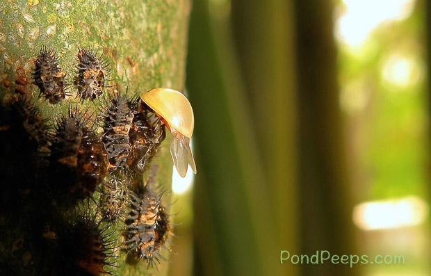 Newly hatched lady bug