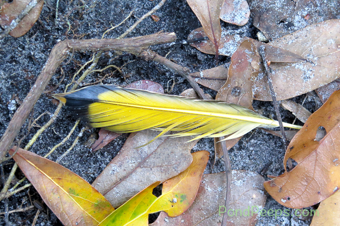 Northern Flicker feather - pond peeps yellow