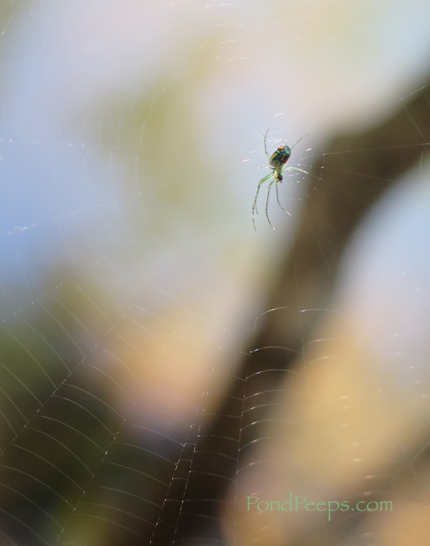Orchard Spider from Pond Peeps