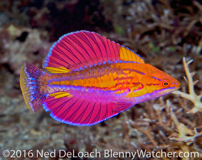 Paracheilinus alfiani from lembata by Ned DeLoach pond Peeps Welcome 2017