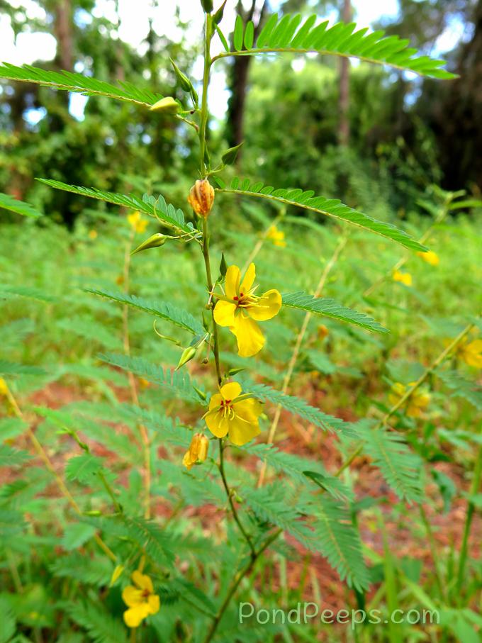 Partridge-pea, Chamaecrista fasciculata - pond peeps yellow