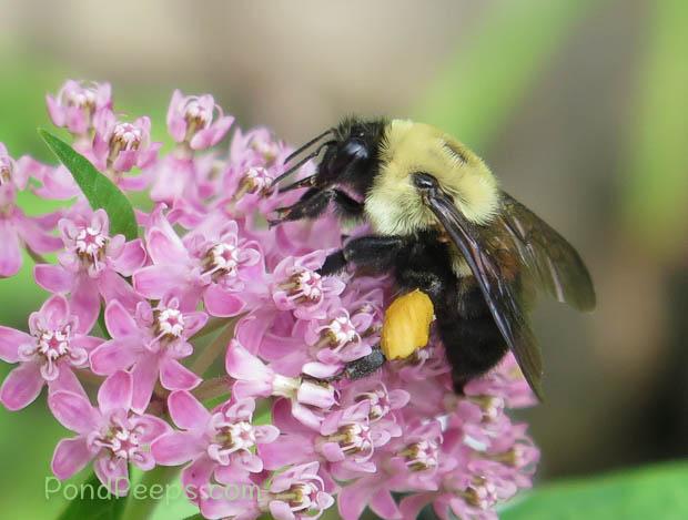"Pollen ""sacs"" on bee's legs"