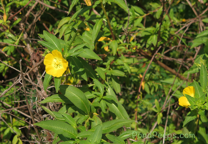 Primrose Willow, Ludwigia peruviana - pond peeps yellow