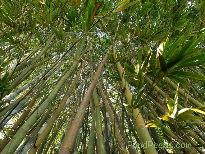 Punting Pole Bamboo