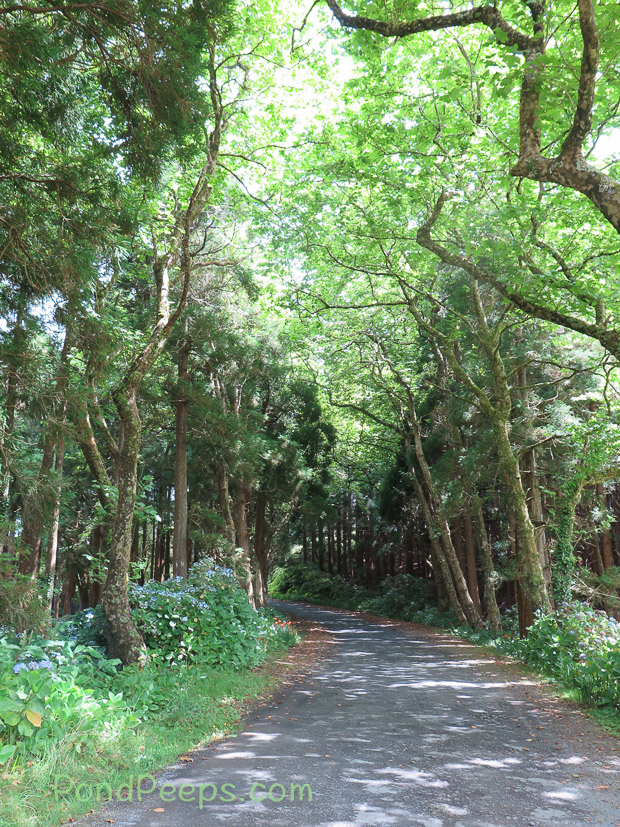 Shady lane in Road Trip - Azores