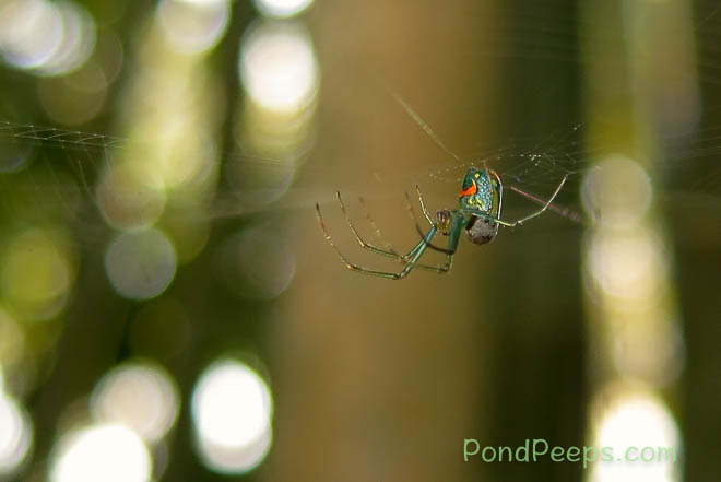 Orchard spider setting up housekeeping in the bamboo