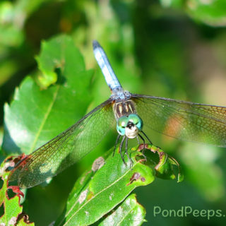 Smiling dragonfly from Pond Peeps July 2016
