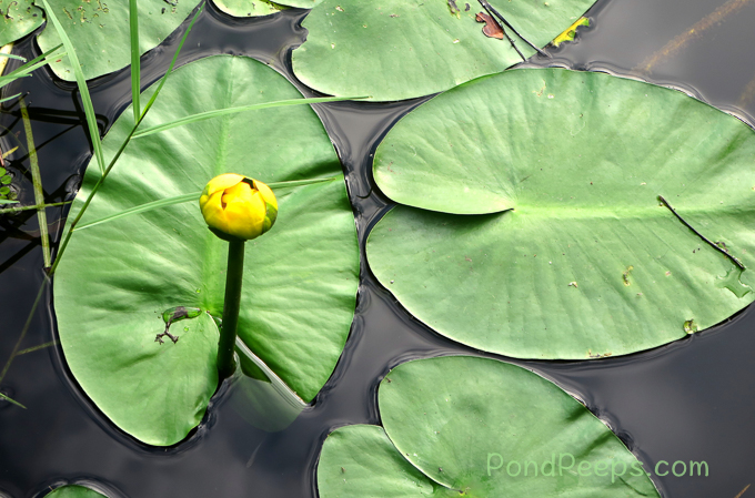Spatter-dock or Cowlily, yellow pond-lily Nuphar luteum- pond peeps yellow