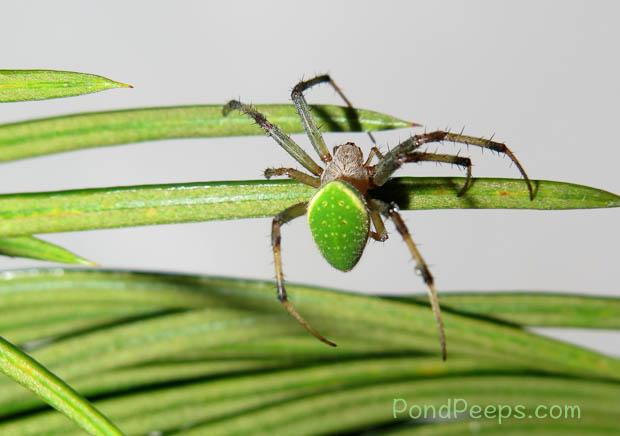 Spider on Hachijojima