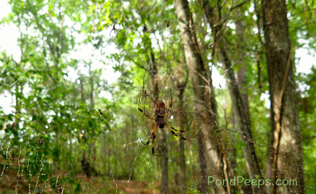 Surrounded by males - Golden-silk Orbweaver, Nephila clavipes