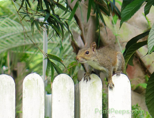 our backyard squirrel - the thief of Pears