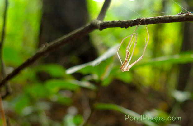 Exoskeleton Golden-silk Orbweaver, Nephila clavipes