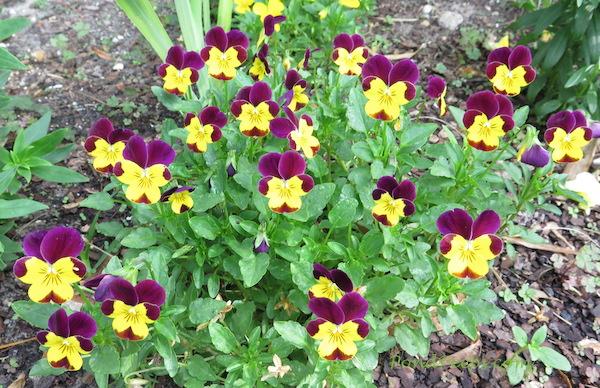 Violas Pondpeeps.com