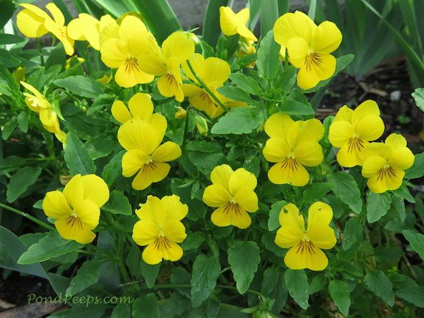Violas2 PondPeeps.com