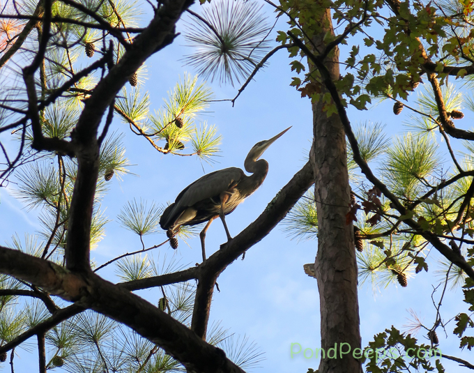 Wary Heron perched in a tree at Earl Johnson Park