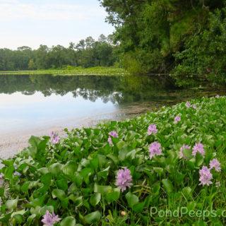 Pond Peeps – June 2017