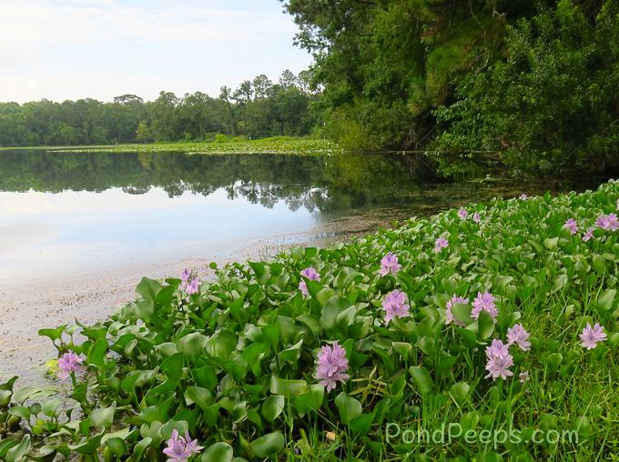 June 2017 - Water-hyacinth, Eichhornia crassipes