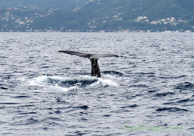 Whale tail off Dominica