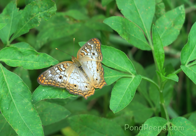 June 2017 - White Peacock Butterfly