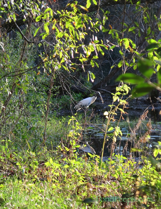 Wood Stork at St. Augustine Road Fish Management Area