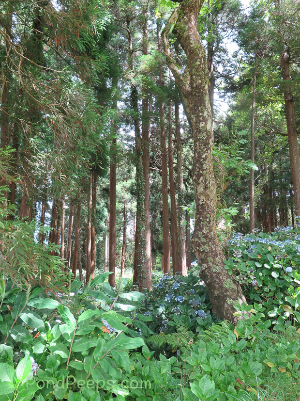 Woods in Road Trip - Azores