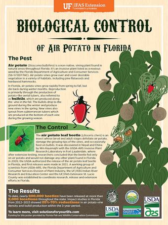 Air Potato Control poster from UFL - More Air Potato Leaf Beetles, Lilioceris cheni