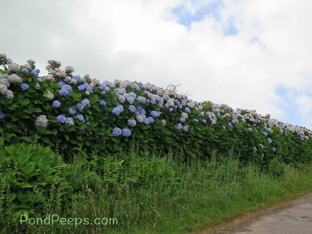 hydrangeas line the road in Road Trip - Azores