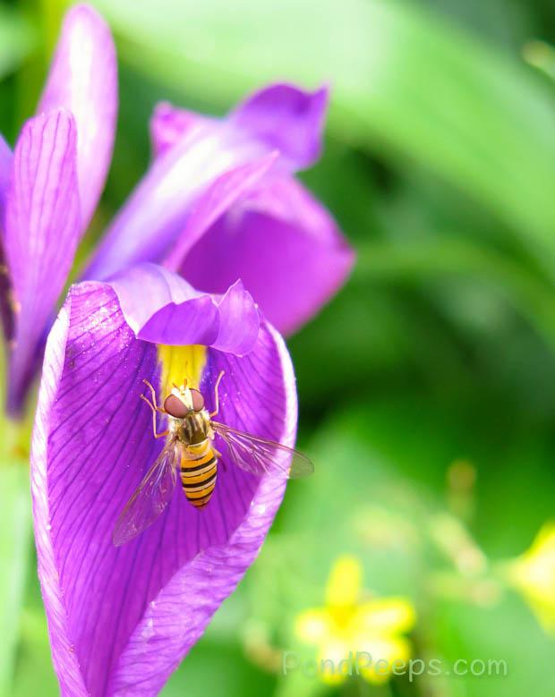 insect on iris at Joshinetsu Highland National Park