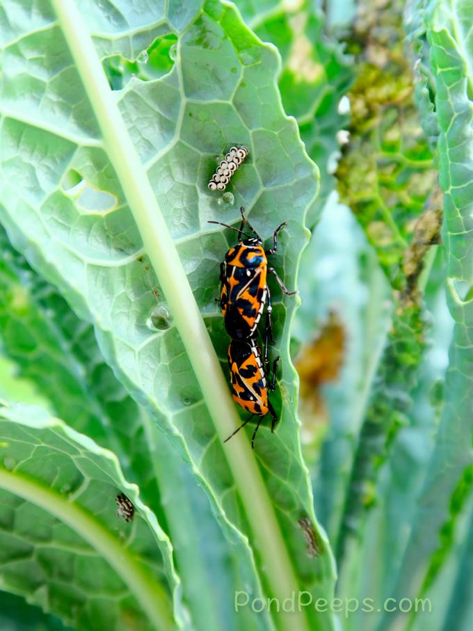mating Harlequin bugs, Murgantia histrionica
